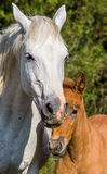 Mare with her foal. White Camargue horse. Parc Regional de Camargue. France. Provence. Royalty Free Stock Photo