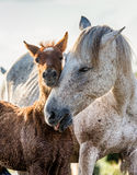 Mare with her foal. White Camargue horse. Parc Regional de Camargue. France. Stock Photography