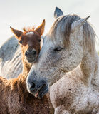 Mare with her foal. White Camargue horse. Parc Regional de Camargue. France. Stock Photos