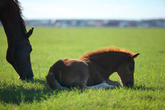 A mare and her slipping offspring. In a green field of grass. Village on background stock images