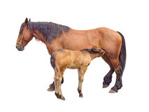Mare horse feeding foal royalty free stock photos