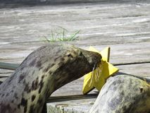Mare isolato adorabile Lion Head Touching Star Target della guarnizione con il naso immagine stock libera da diritti