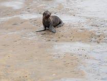 Mare Lion Pup Sitting del bambino sulle scogliere con lo spazio della copia Immagini Stock