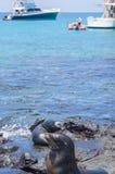 Mare Lion Pups Playing dalla riva con le barche nei precedenti Fotografia Stock Libera da Diritti