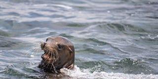 Mare Lion Swimming nell'oceano Pacifico immagine stock libera da diritti