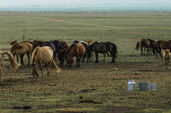 Mare milk in the desert of mongolia Stock Photography