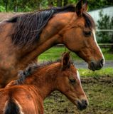 Mare mother horse and baby foal profile view Stock Image