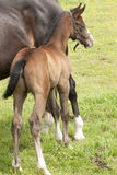 Mare with newborn foal. In a meadow Stock Photos