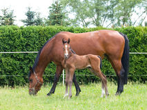 Mare with newborn foal Royalty Free Stock Images