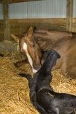 Mare and Newborn Foal. Quarter-horse mare and her foal just after it was born royalty free stock images