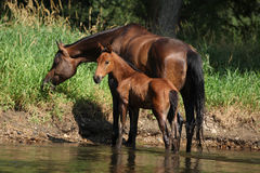 Mare with nice foal first time in the water Stock Photos
