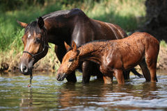 Mare with nice foal first time in the water Royalty Free Stock Image