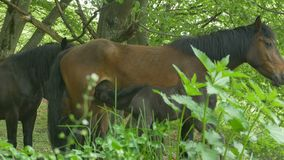 Mare Nursing Foal stock video