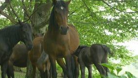 Mare nursing her foal