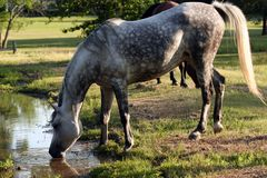 Mare at Pond. Mare  drinking from a pond Royalty Free Stock Photography