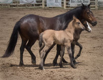 Mare and Ponies Royalty Free Stock Photography
