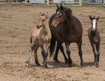 Mare and Ponies Stock Photography