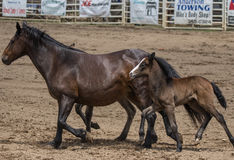 Mare and Ponies Royalty Free Stock Images