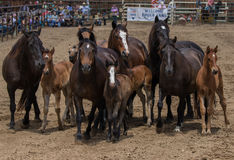 Mare and Ponies Stock Image