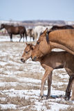 Mare and quarter horse foal Stock Photos