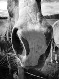 Mares nose. Close up of a pinto mares nose, friendly horse, equine, pastures, black and white royalty free stock photos