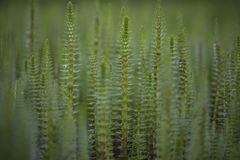 Mare`s tail aquatic plant Royalty Free Stock Photography