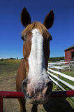 Mare's view of a thoroughbred Quarter Horse Royalty Free Stock Image