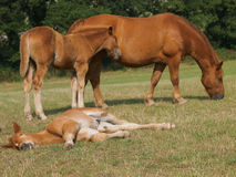 Mare with Sleeping Foal Stock Image