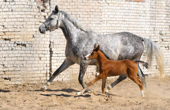 Mare and small foal. Dapple-gray mare and bay foal Stock Image