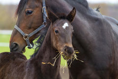 Mare with sorrel. Bay mare and foal on pasture in studfarm Stock Photography