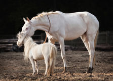 Mare and stallion Stock Photography