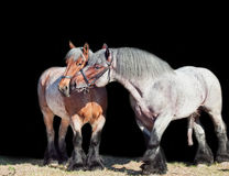 Mare and stallion of brabant breed. isolated at black Stock Photography