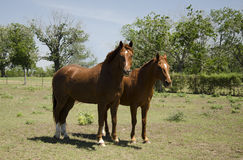 Mare and Stallion Stock Images