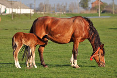 Mare with suckling colt royalty free stock photo