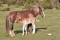 Mare suckling her foal Stock Photography