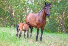 Mare suckling its foal Royalty Free Stock Image