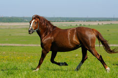Mare trots. Sorrel mare trots in field Royalty Free Stock Photo