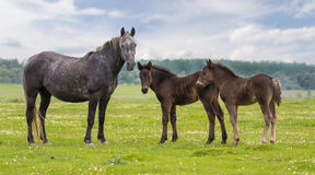 Mare and two foal on the meadow Royalty Free Stock Photography