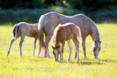 Mare with two foals in field Royalty Free Stock Photos