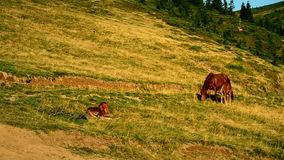 Mare and two foals on pasture in mountains. Mare and two foals grazing on pasture in mountains in late summer or early autumn at dawn stock video footage
