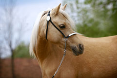 Mare of welsh pony. Young purebred mare of welsh pony Royalty Free Stock Images