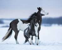 Mare whit blue-eyed foal on snowfield Stock Photo