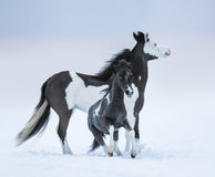 Mare whit blue-eyed foal on winter field Stock Image