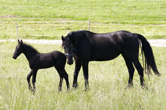 Free Mare With Colt Royalty Free Stock Photos - 10110738
