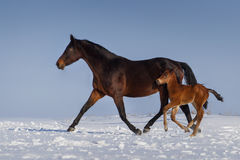 Free Mare With Colt Stock Image - 82667831