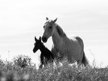 A mare withe her foal in black and white Stock Photos