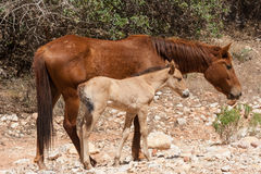 Mare and yearling Stock Photo