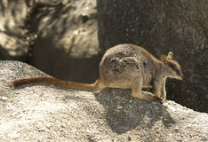 Mareeba-Felsenwallaby, Mitchell-Fluss, Steinhaufen, Queensland, Australien Stockbilder