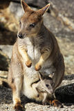 Mareeba Rock wallabies or Petrogale Mareeba Royalty Free Stock Images