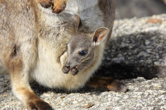 Mareeba Rock wallabies or Petrogale Mareeba Stock Photo